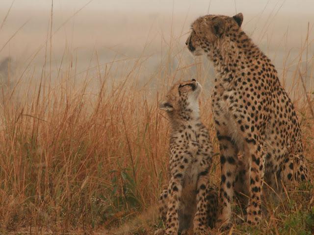 Mãe Chita seu filhote Cub