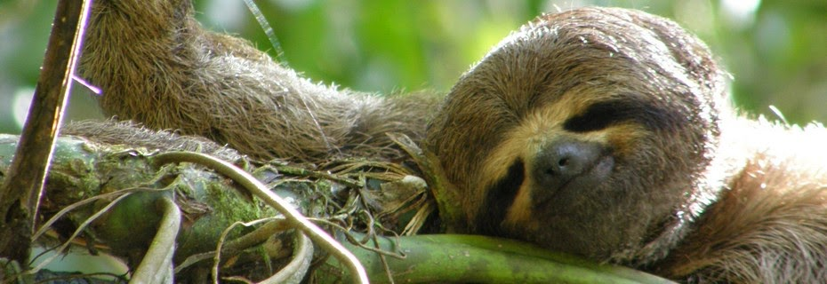 A sloth, one of the species found in primary jungle.