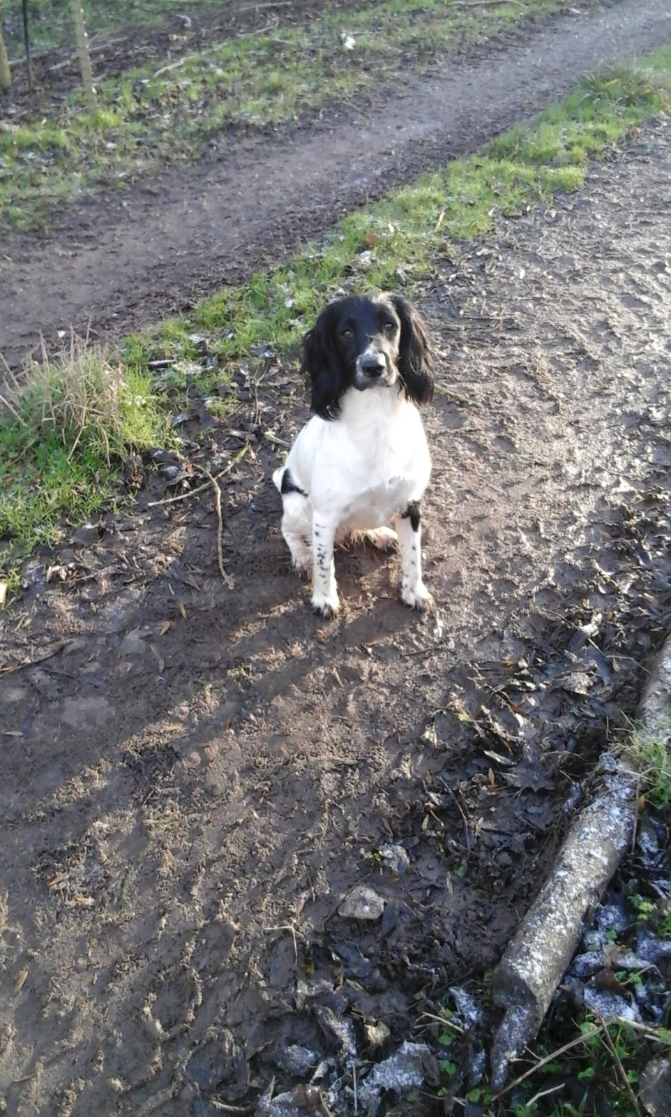 Molly - Springer Spaniel