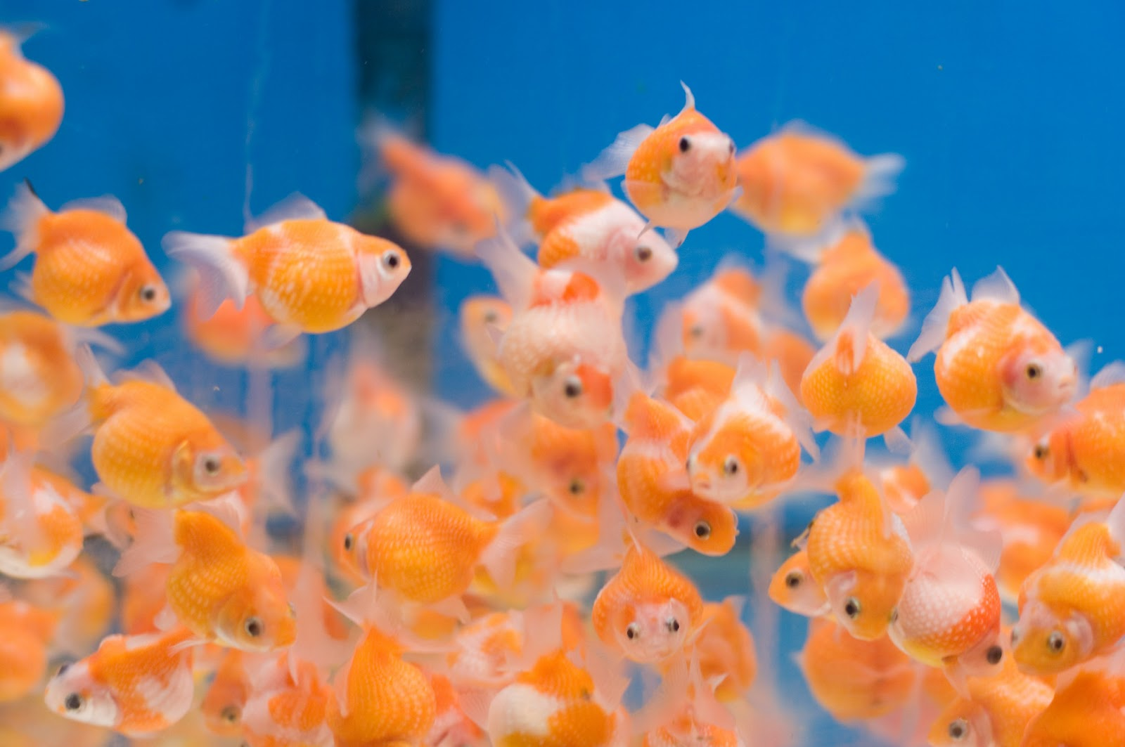 Peces y plantas ornamentales carassius auratus goldfish for Goldfish en estanque