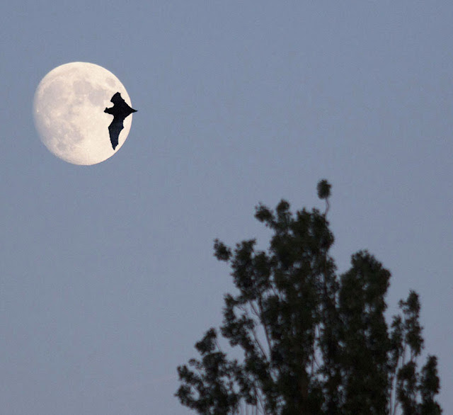 The moon and a Common  Noctule, Nyctalus noctula,  over Warren Avenue Playing Fields.  This is a cheat, a combination of two different photos.  (If the bat is in focus, the trees should be also.)  1 July 2012.