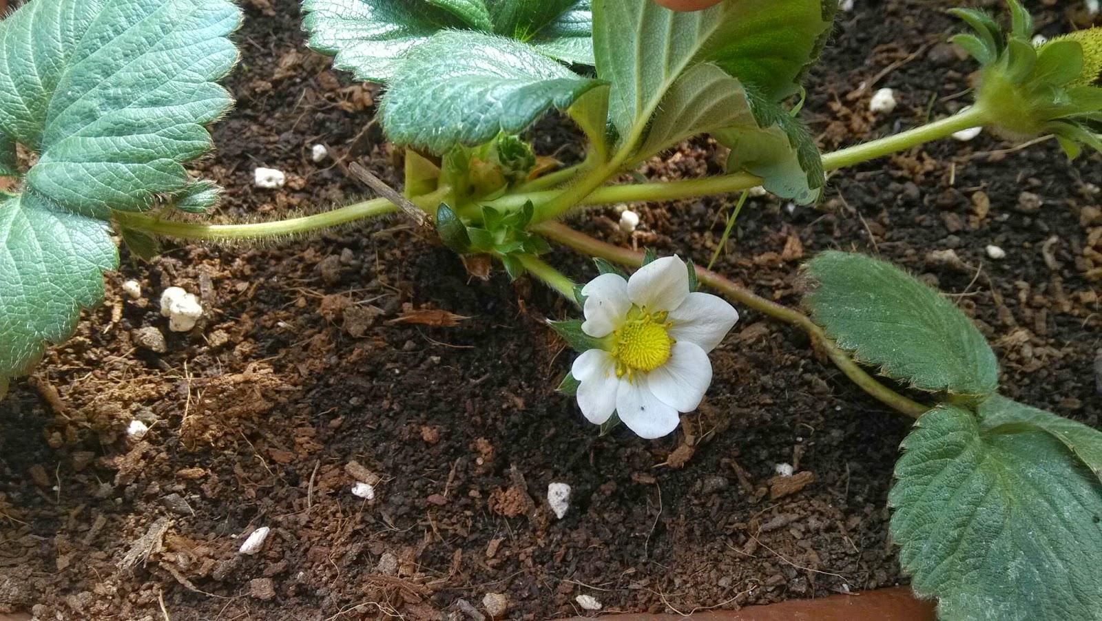 flower flor strawberry fresa polinizacion anemofila huerto maceta