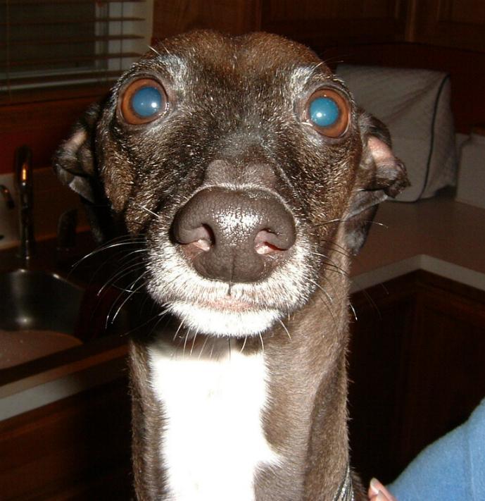 italian greyhound smiling - photo #18