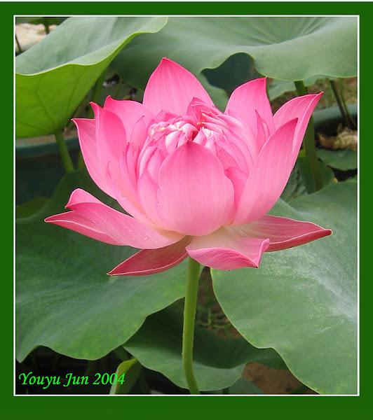 Most Beautiful Lotus Flower