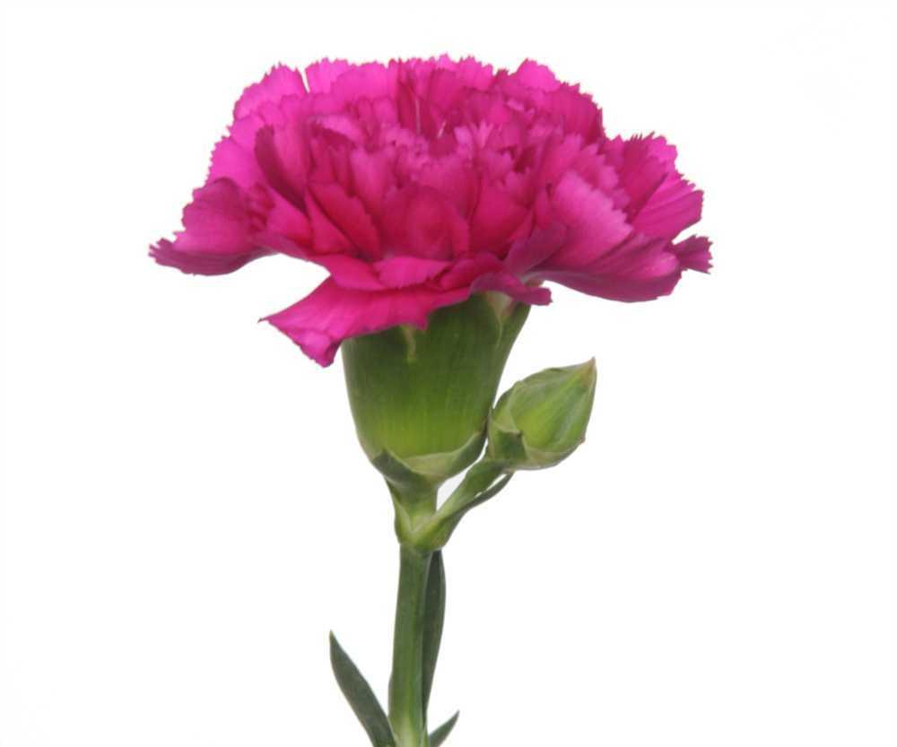 Flowers Amp Planets Carnation Flower