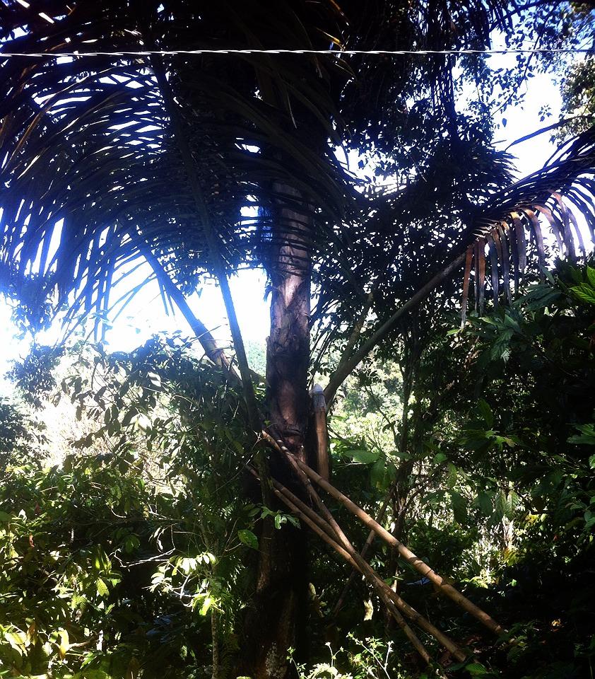 pohon nira di air terjun indo rannuang