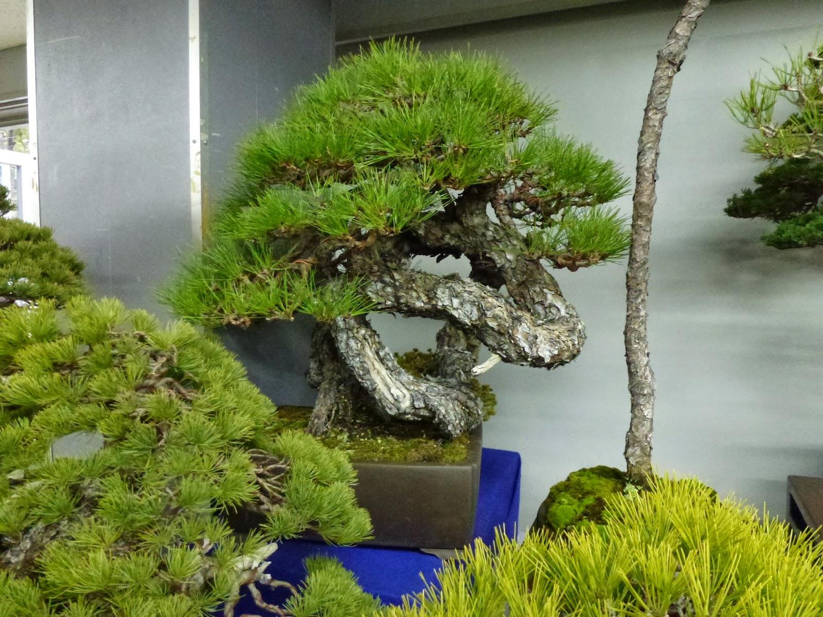 El tim bonsai 20 04 14 27 04 14 for Estanterias para bonsais