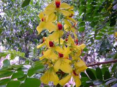 Flor do pau brasil