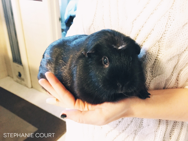 gray and white crested guinea pig