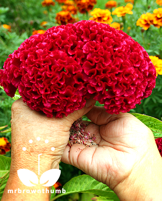 Celosia cristata, cockscomb flower 