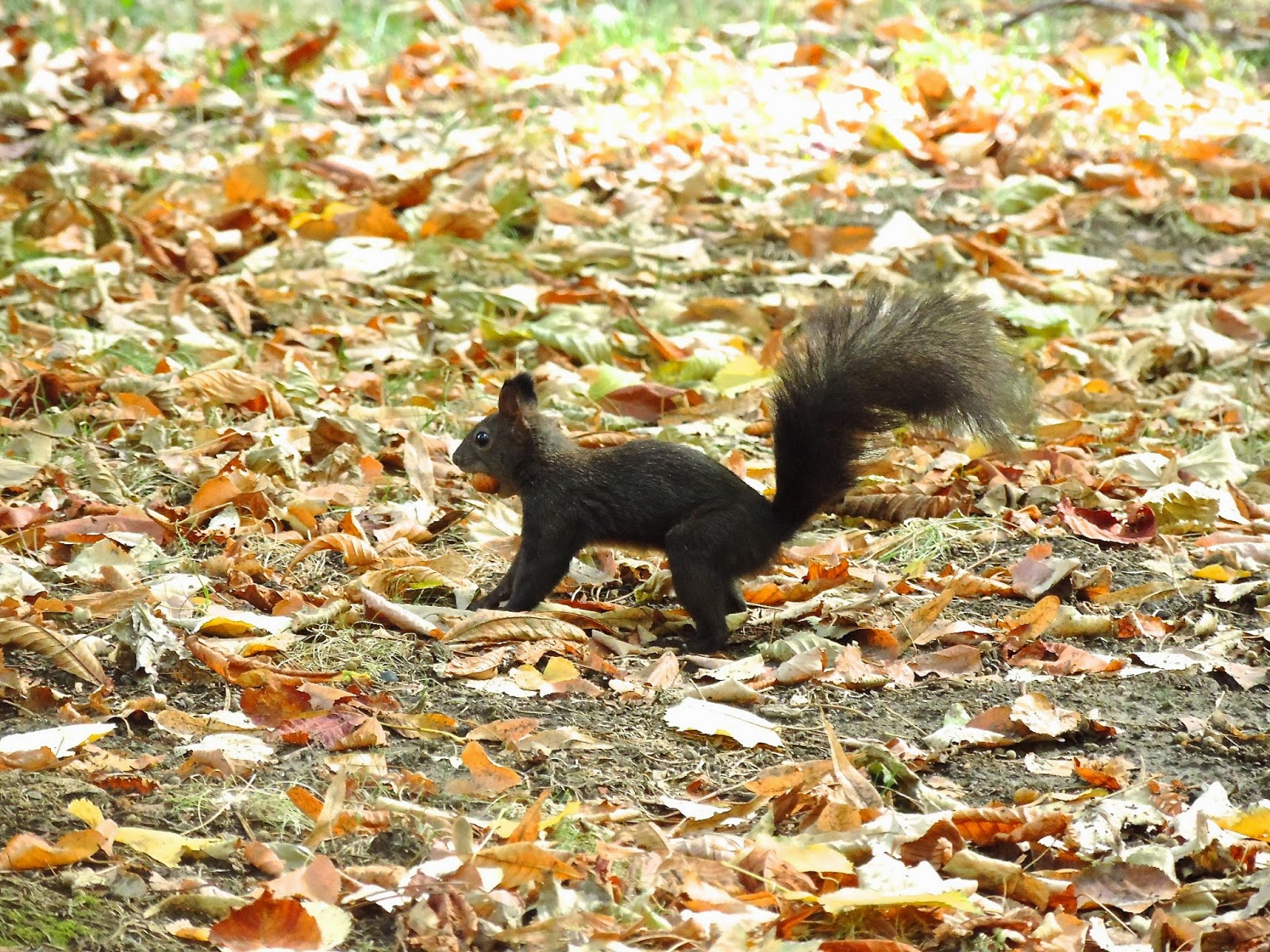Squirel with a nut  in mouth