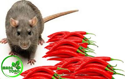 Cara mengusir tikus dengan buah cabai