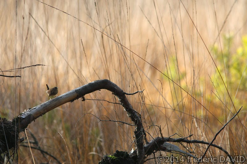 oiseau troglodyte mignon forêt Fontainebleau