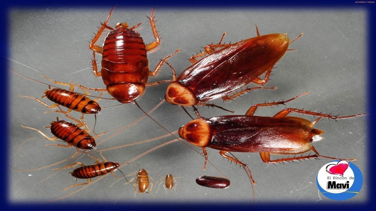Como tener tu cuerpo sano c mo acabar con las cucarachas - Como terminar con las hormigas en casa ...