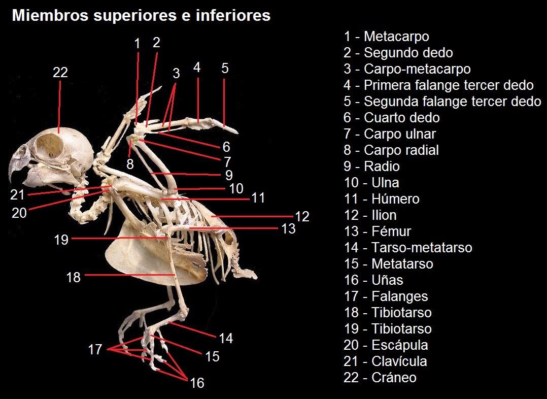 Agapornis Rebandaka: Anatomía del Agapornis