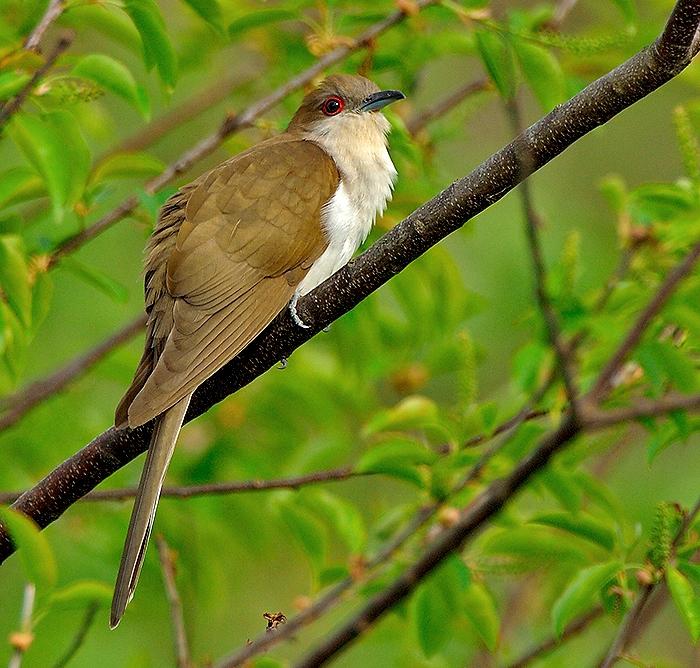 Black cuckoo bird - photo#1
