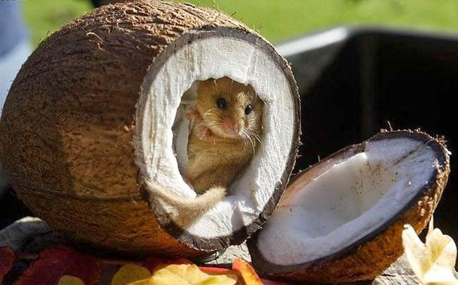 Funny animals of the week - 5 April 2014 (40 pics), tiny mouse inside coconut