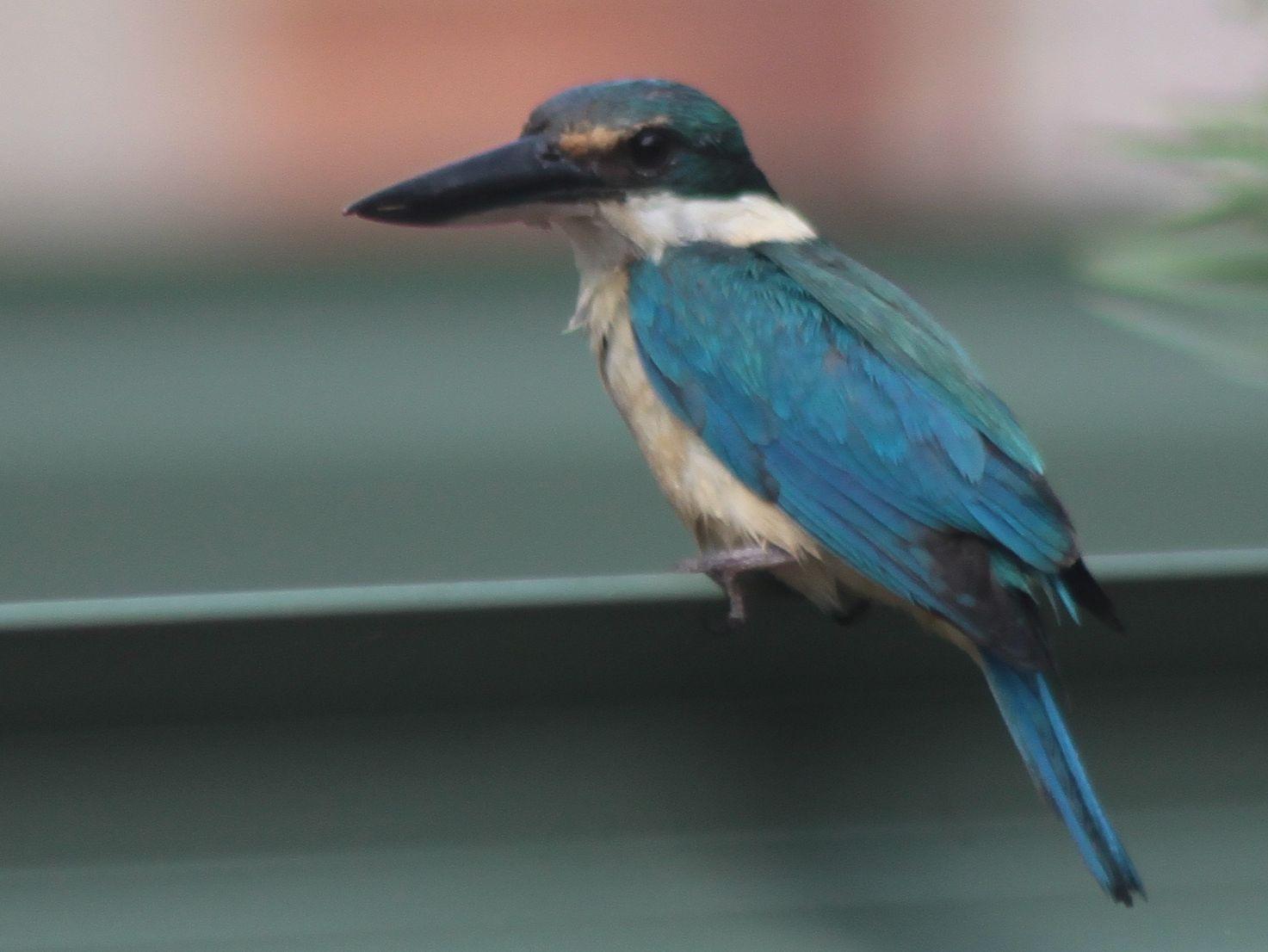 richard waring u0027s birds of australia sacred kingfisher and others