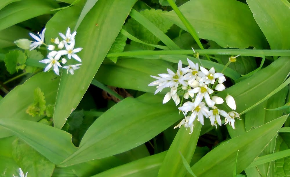 Wild Garlic Plant of Wild Garlic Growing on