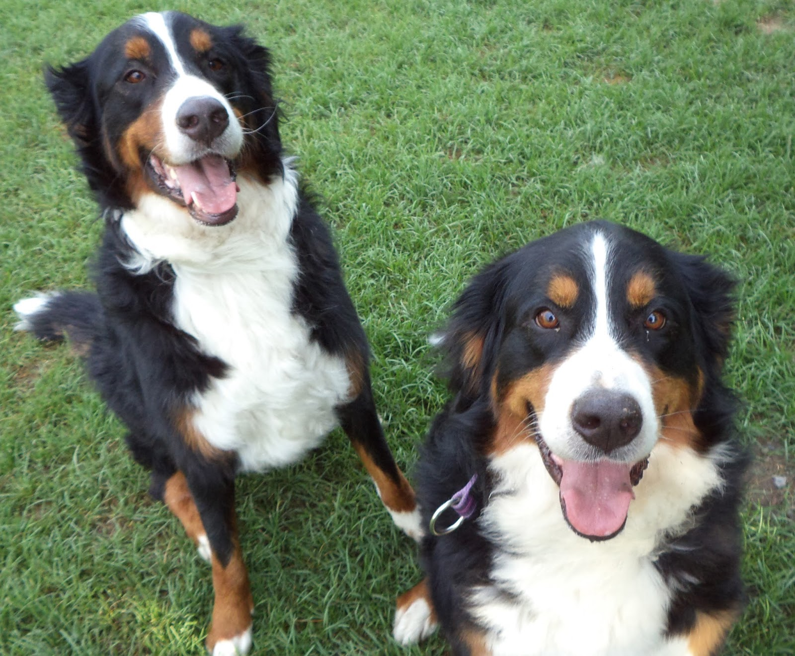 Bernese Mountain Dog Border Collie Mix Puppies Shannoncourt Pet Care