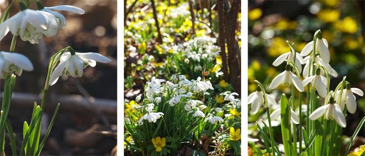 Forår i haven med forskellige sorter vintergækker