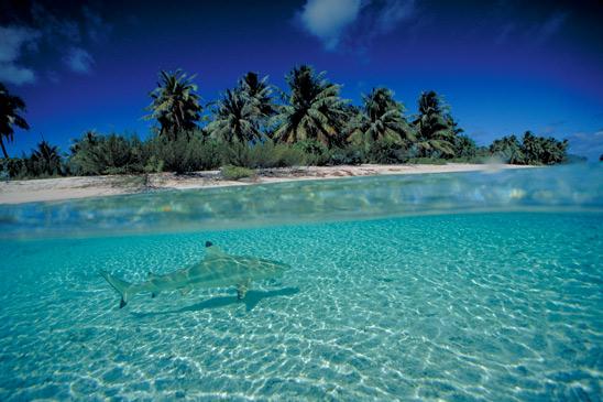 Black Tipped Shark, French Polynesia