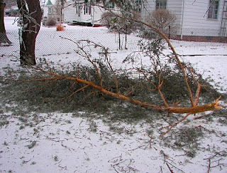 limb from a fir tree broken by heavy ice accumulation