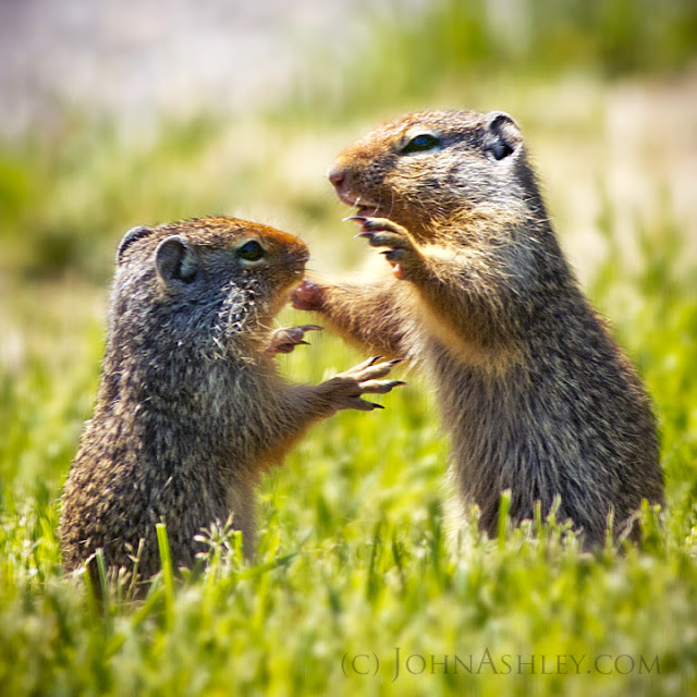 Wrestling Columbian ground squirrels (c) John Ashley