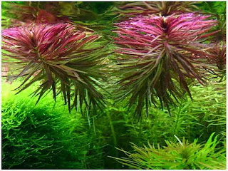 Gambar-Limnophila-Aromatica-Tanaman-stem-Aquascape