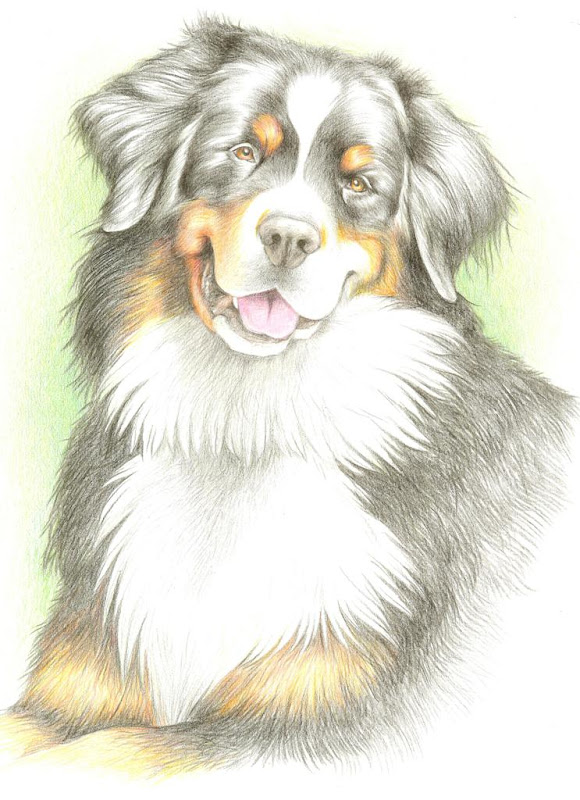 colored pencil drawing of bernese mountain dog bayla, from the chest up, with a sweet smile on her face