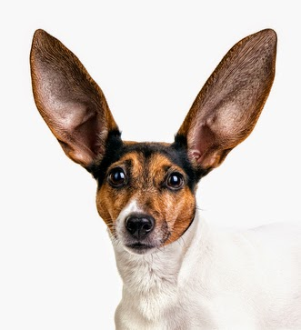 Les oreilles de mon chien Véto Malin