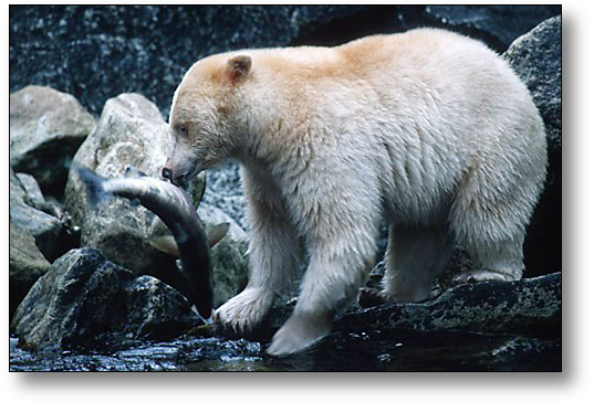 Almost Extinct Animals Americas Spirit Kermode Bear