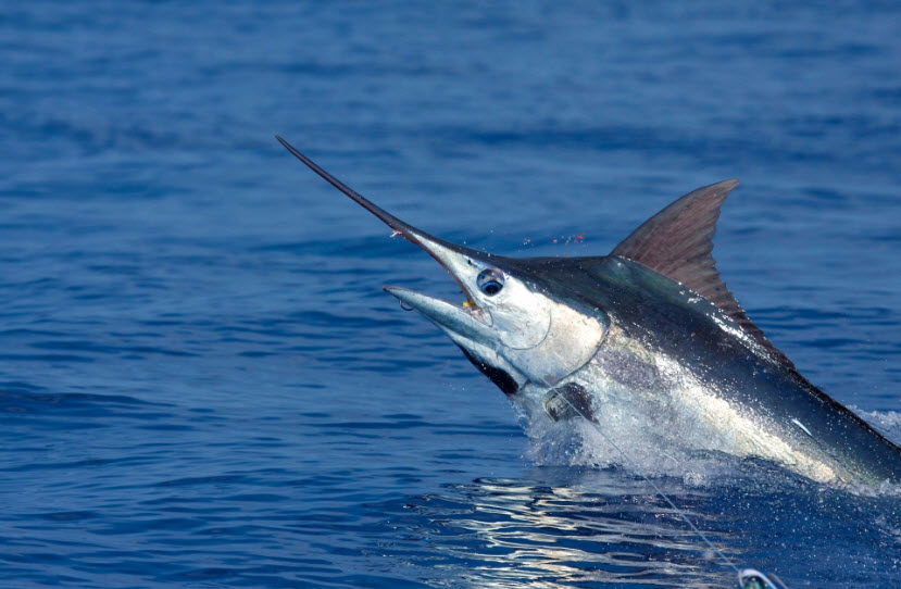 blue marlin the life of animals