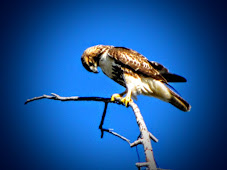 Wellesley Island Hawk