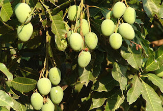 Mangoes ,Popular Fresh fruits in Uganda.