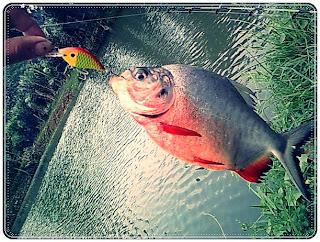 Karakter Ikan Bawal