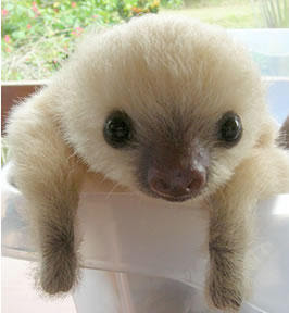 Baby Bsloth