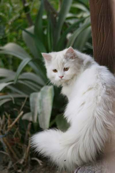 kucing-persia-tradisional-doll-faced-persian