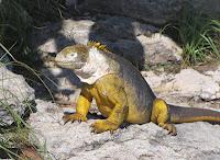 Galapagos Island Land Iguana