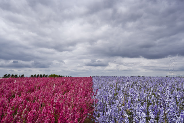 Two colours of bright flower fields under a cloudy sky www.martynferryphotography.com