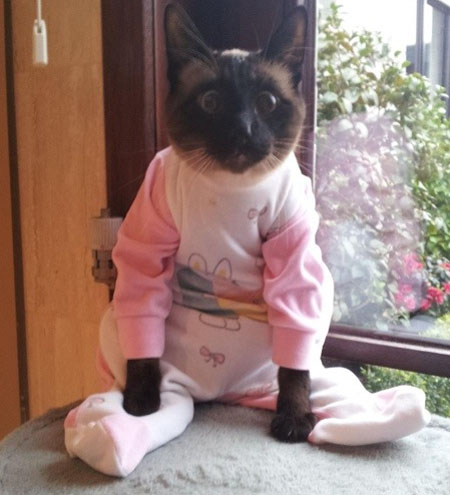 cat in bunny onesie clothes wearing animals cow clothes wearing