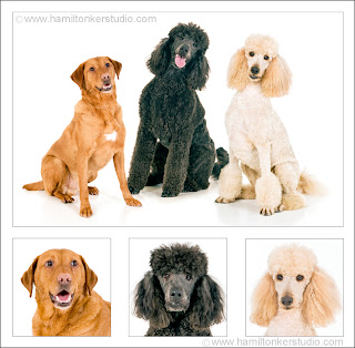Group photo of some dogs, labrador poodle labradoodle