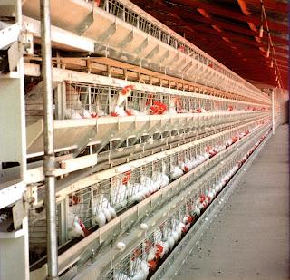 Một trại nuôi gà đẻ công nghiệp.