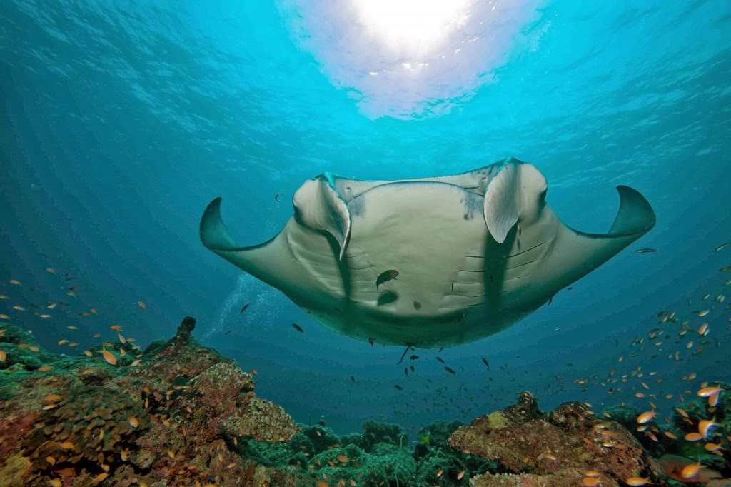 Manta rays are animals that generally has a calm behavior .