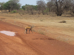 Monkey on the road from Aweil North County, NBG