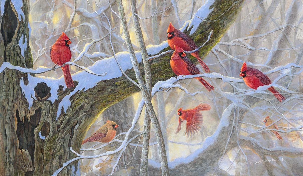 wild life cardinal wallpaper wild birds