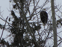 Eagle in my backyard...