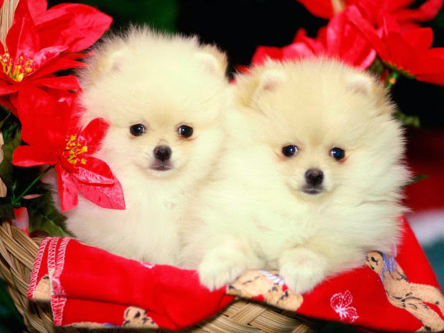 Beautiful Cute Puppys Wallpaper