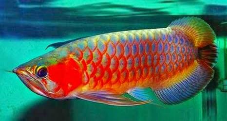 foto ikan arwana