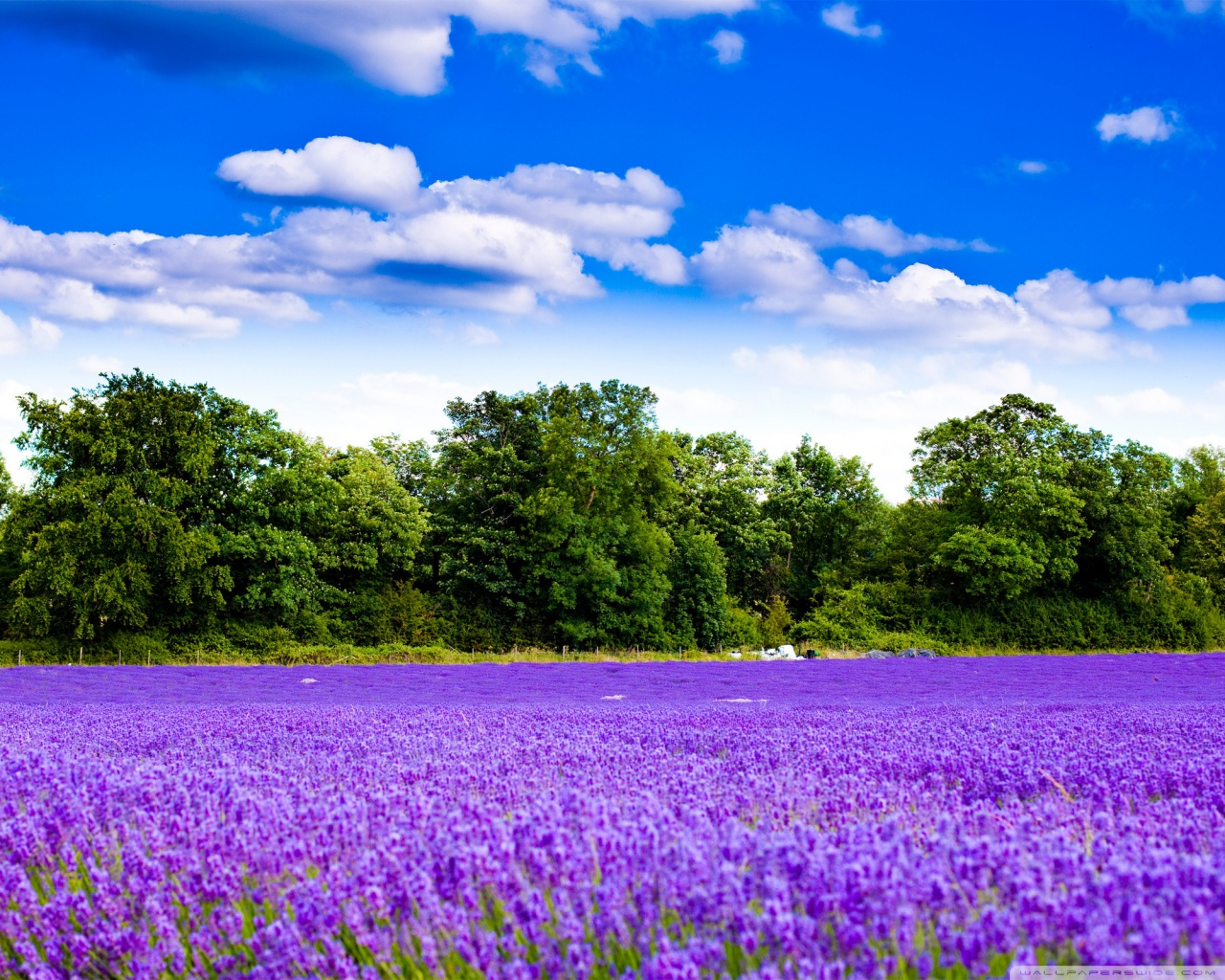 Free Wallpaper Hub: Lavender Field Wallpaper